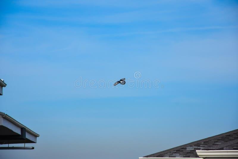 Flyga duvaf?geln i handling arkivbild