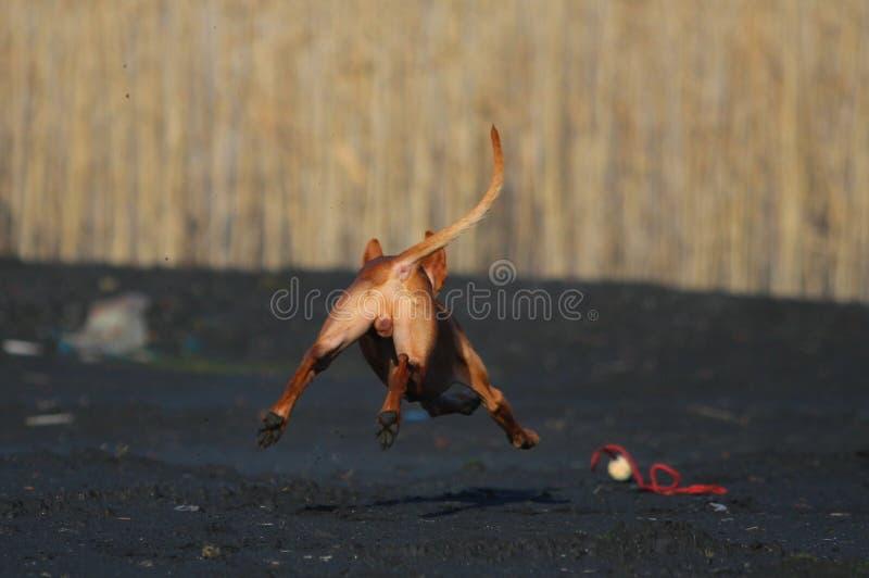 Flyga en hund efter en leksak arkivbild