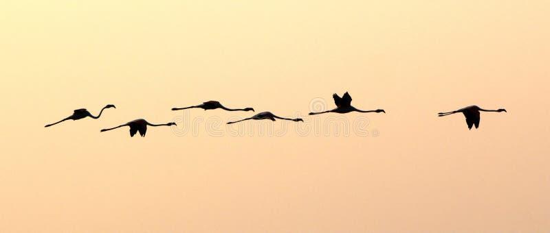 Flyga för Flamingos fotografering för bildbyråer