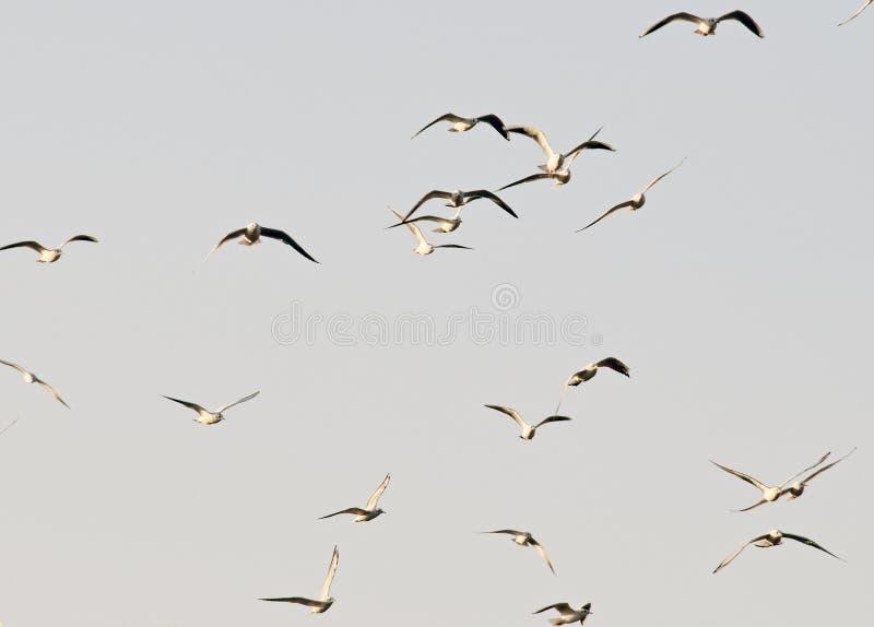 Flyga för flodfiskmåsar royaltyfri fotografi
