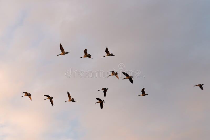 Flyga för Kanada gäss royaltyfri foto