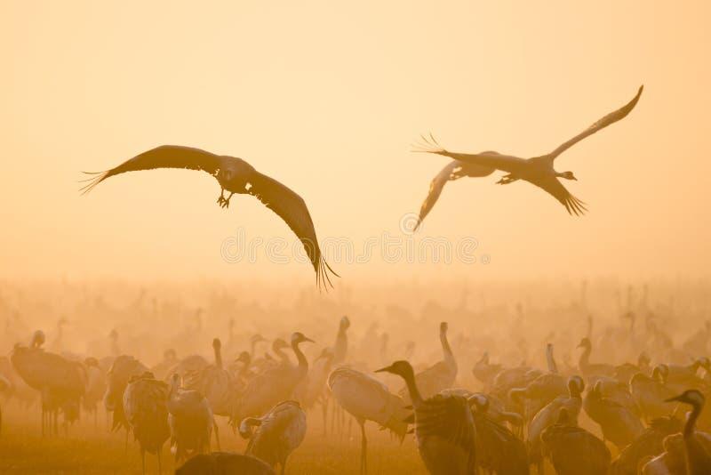 flyga för kranar royaltyfri fotografi
