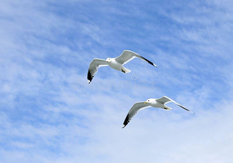 Flyga för två medelhavs- vitt seagulls arkivbild