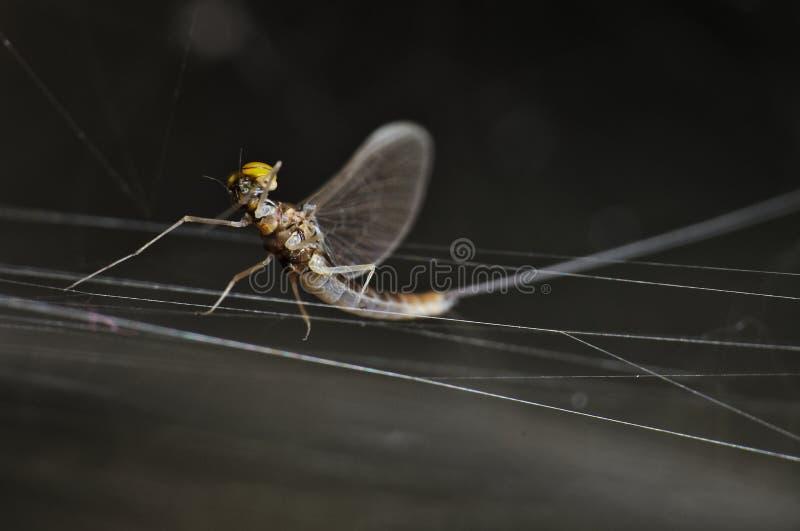 Flyga felkrypet på att trotsa en spiderweb arkivfoto