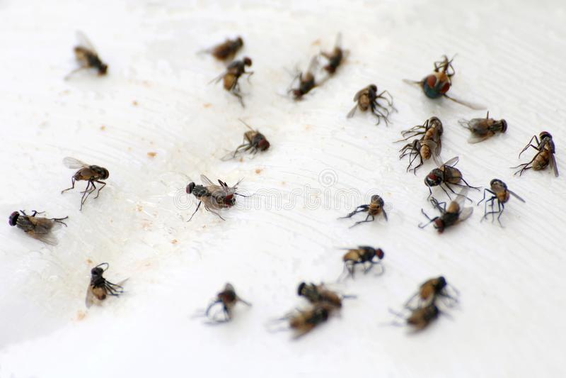 Flyga högflugan, closeup många massan av flugaflugan som är död på vit jordning, flugor är bärare av tyfustuberkulons royaltyfri foto