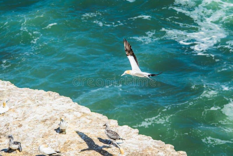 Flyga havssulafågeln fotografering för bildbyråer
