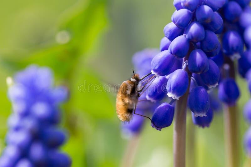 Flyga i flykten samla nektar från en blommamuscari royaltyfri foto
