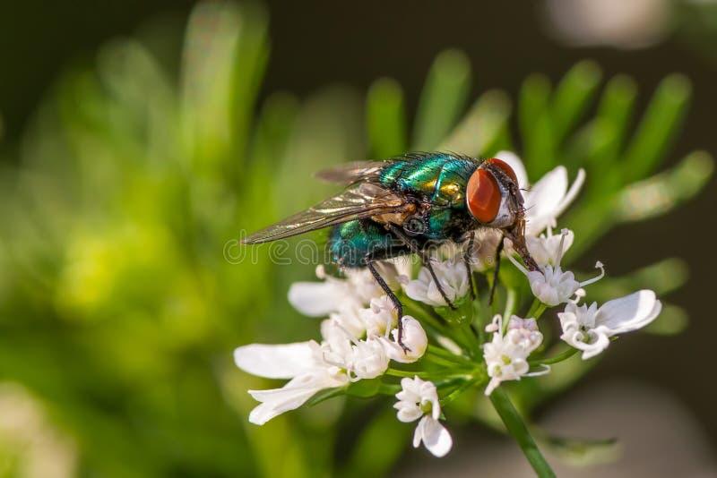 Flyga på en blomma - stor detalj av framsidan, det sammansatta ögat och bröstkorgen royaltyfri fotografi