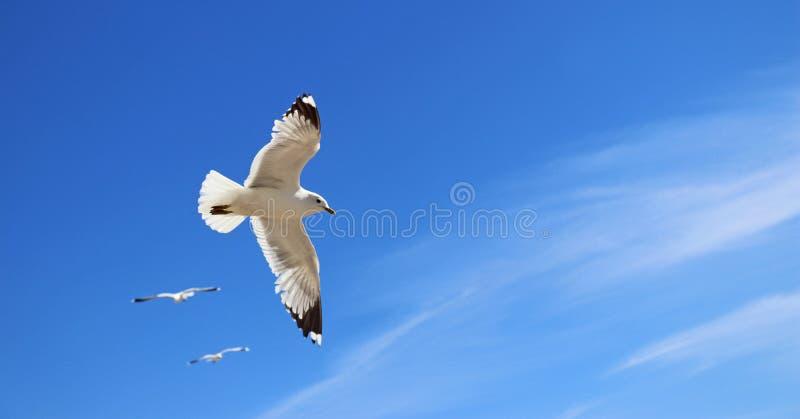 Flyga seagullen som medföljs av två andra fiskmåsar fotografering för bildbyråer