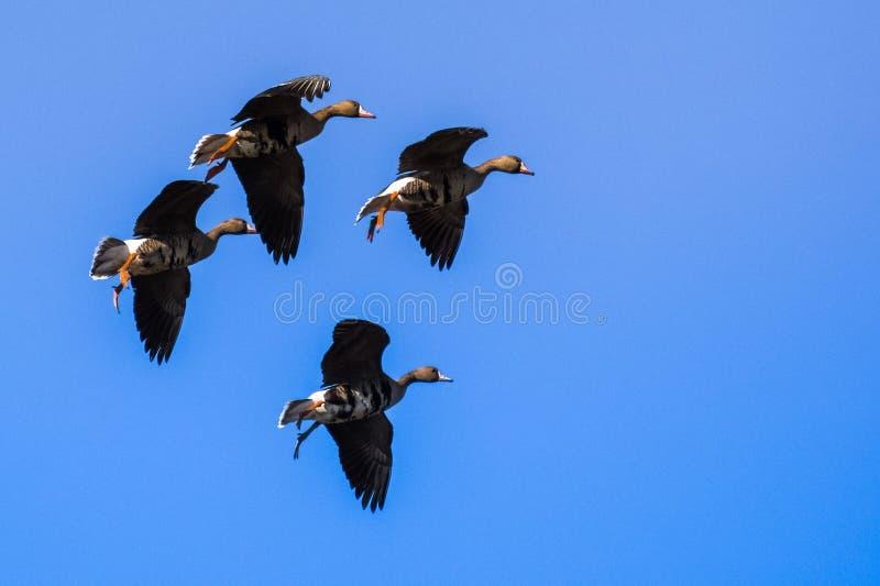 Flyga större Vit-beklädde gässAnseralbifrons som förbereder sig att landa arkivfoto