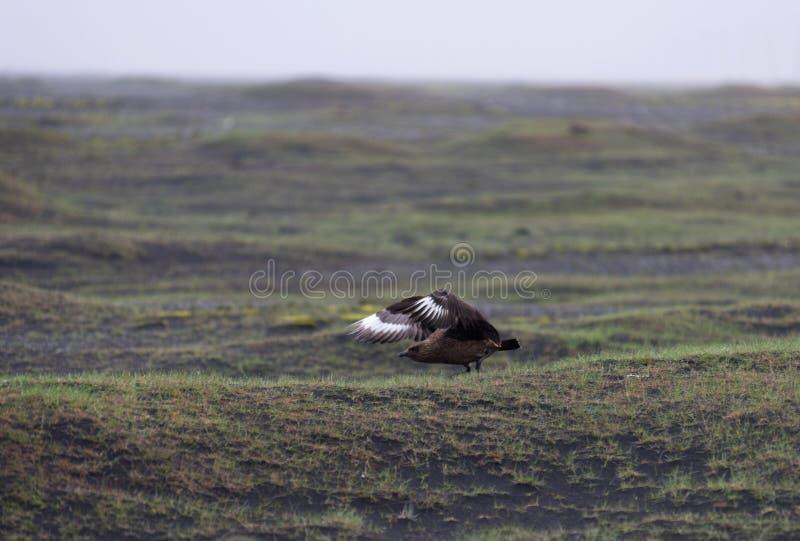 Flyga Stercorariuslabbet för stor labb i Island royaltyfria foton