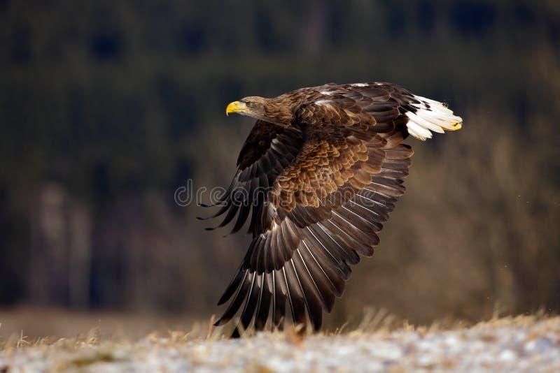 Flyga stora fåglar av rovet Vit-tailed Eagle ovanför äng med öppna vingar royaltyfri fotografi