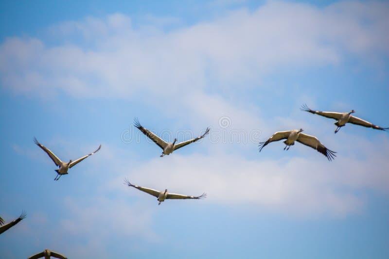 Flyga vandra gemensamma kranar mot blå himmel med vita moln royaltyfria bilder