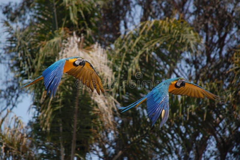 flygaframdelen gömma i handflatan papegojatrees arkivfoton