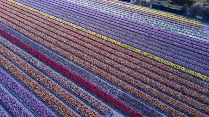 Flygbild av blommafältet i Nederländerna royaltyfria foton