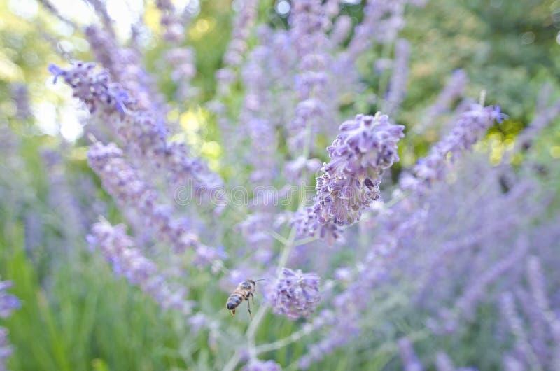 Flyget för upptaget bi in till de purpurfärgade blommorna arkivfoto