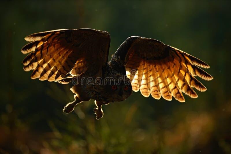 FlygEurasian Eagle Owl med öppna vingar i skoglivsmiljön, foto med tillbaka ljus, fågelhandlingplats i skogen, mörk morgon arkivfoton