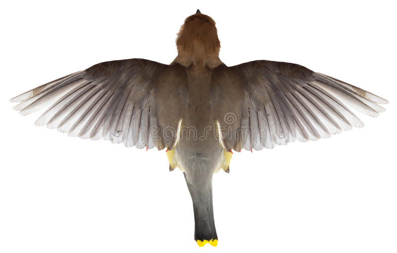 Flygfågel, bästa sikt av flyget, vingar,  royaltyfri foto