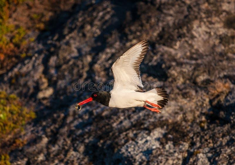 Flygfågel med skalet i dess näbb royaltyfri bild