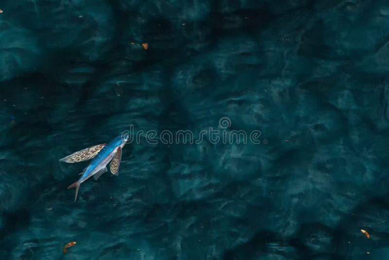 Flygfisk på natthavet royaltyfri bild