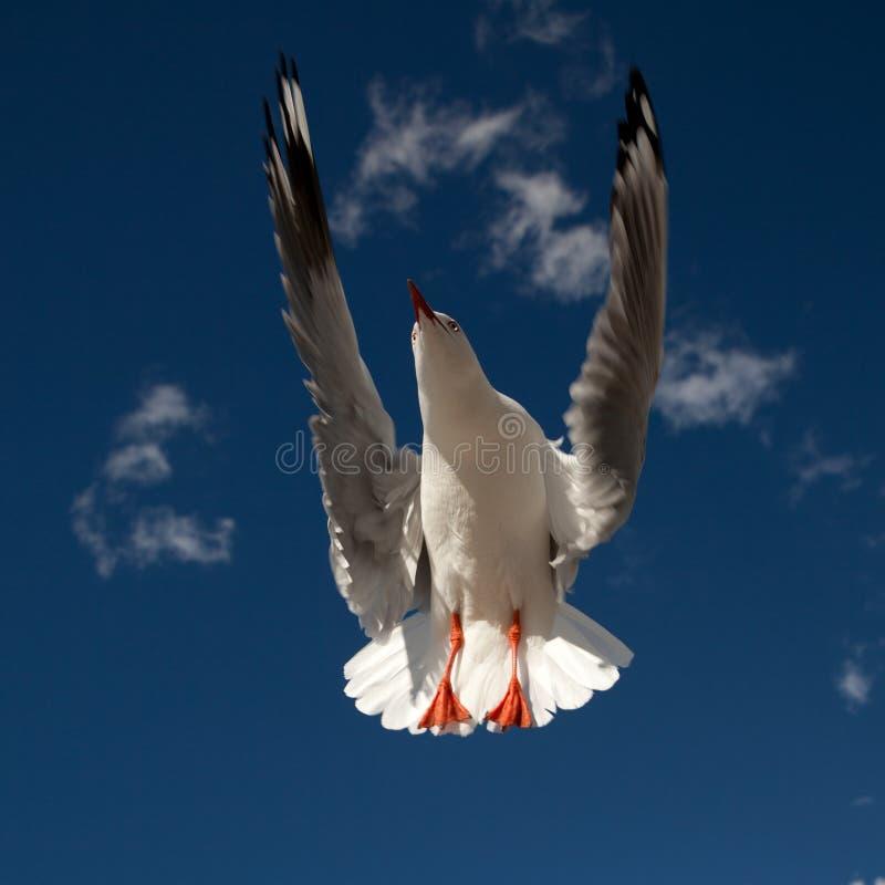 Download Flygfiskmås fotografering för bildbyråer. Bild av seagull - 19791711