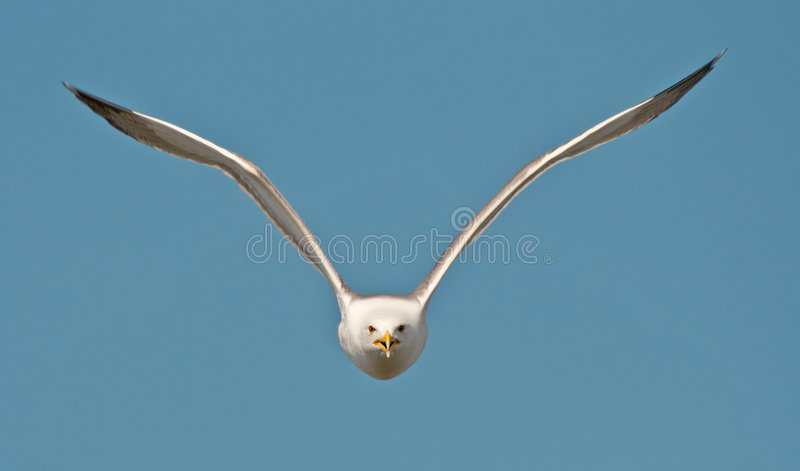 flygfiskmås arkivbild