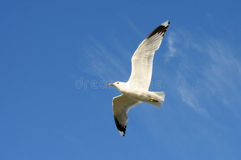 Download Flygfiskmås arkivfoto. Bild av fågel, fiskmås, fritt, befjädrat - 993534
