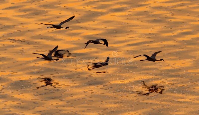 Flygflamingo ovanför det guld- vattnet av sjön Natron på solnedgången royaltyfri fotografi