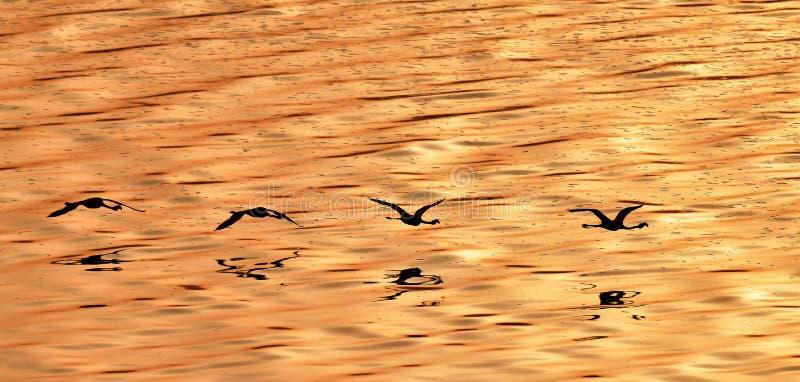 Flygflamingo ovanför vattnet av sjön Natron på solnedgången flyg- sikt arkivfoto