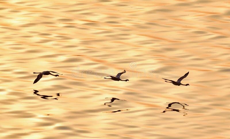 Flygflamingo ovanför vattnet av sjön Natron på solnedgången flyg- sikt fotografering för bildbyråer