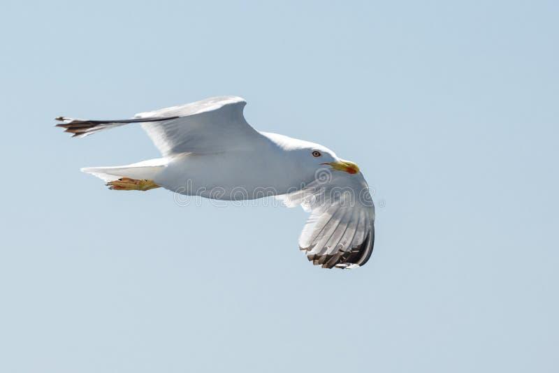 Flyghavsfiskmås på himlen arkivbilder