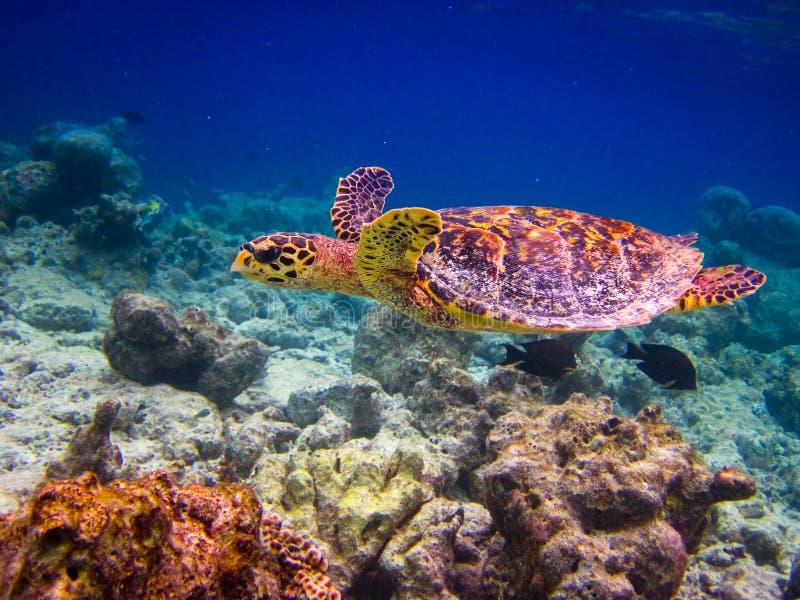 flyghawksbill like simningsköldpaddan royaltyfri bild