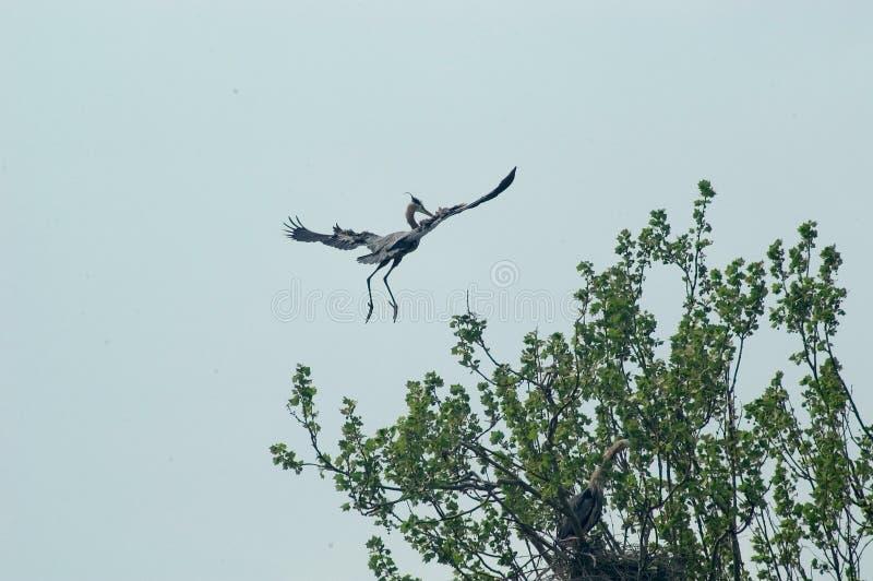 Download Flygheron fotografering för bildbyråer. Bild av waterfowl - 3341