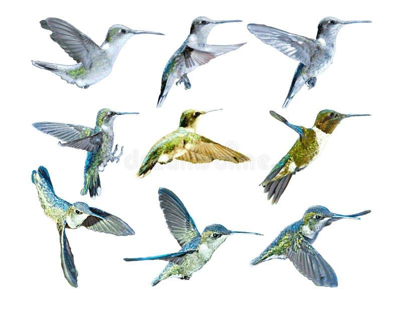 flyghummingbirdsvektor stock illustrationer