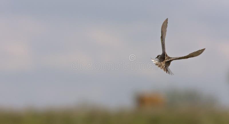 flygmeadowlark royaltyfri fotografi