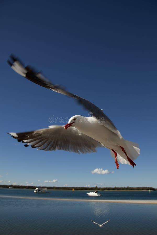 Download Flygseagull fotografering för bildbyråer. Bild av stukat - 19791579