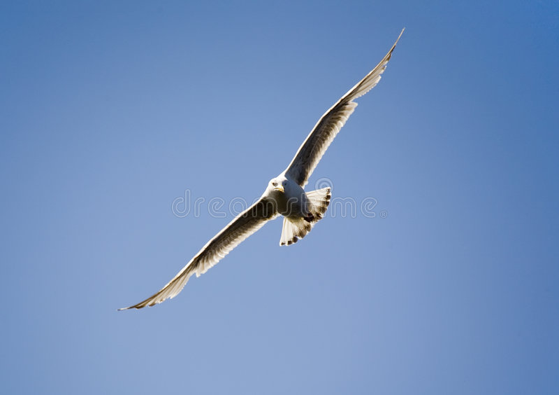 flygseagull arkivfoto