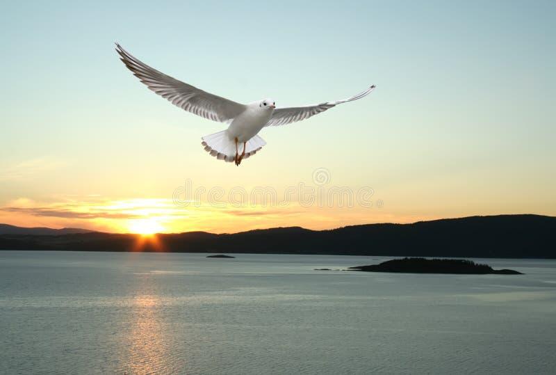flygseagull arkivbild