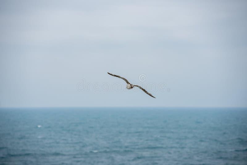 Flygseagull, kontur f?r b?sta sikt F?geln flyger ?ver havet Seagullsv?vande ?ver det djupbl? havet Fiskm?s som jagar ner fisk Fis arkivfoton