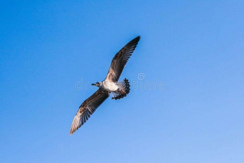 FlygSeagull mot den blåa himlen royaltyfria foton