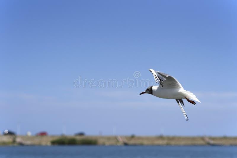 Flygseagull mot en bl? himmel royaltyfri bild