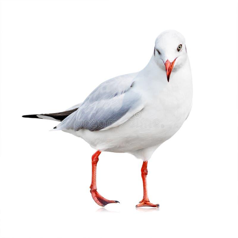Flygseagull som isoleras p? vit Vit fågel för din design Blinkningsinnesrörelse royaltyfri fotografi
