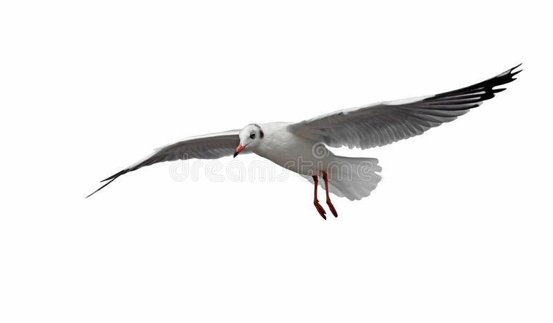 Flygseagullfågel som isoleras på vit arkivbild