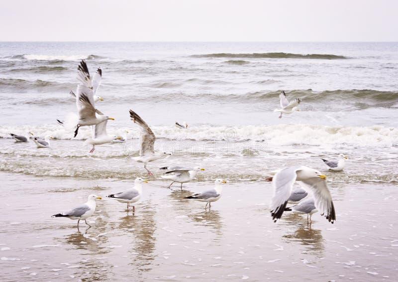 Flygseagulls på stranden fotografering för bildbyråer