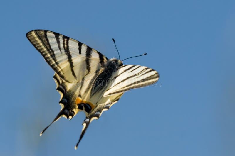 flygswallowtail fotografering för bildbyråer