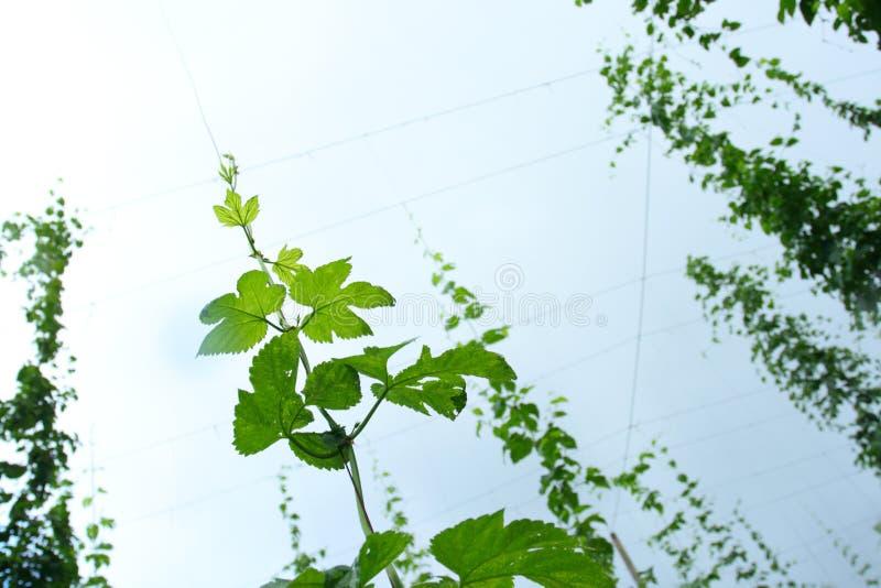 flygturvine royaltyfria foton
