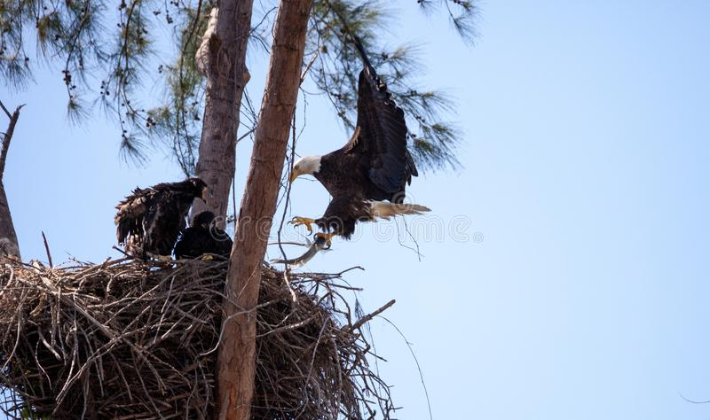 Flying Adult bald eagle Haliaeetus leucocephalus. Returns to its nest on Marco Island, Florida with a fish for its juvenile young stock photography