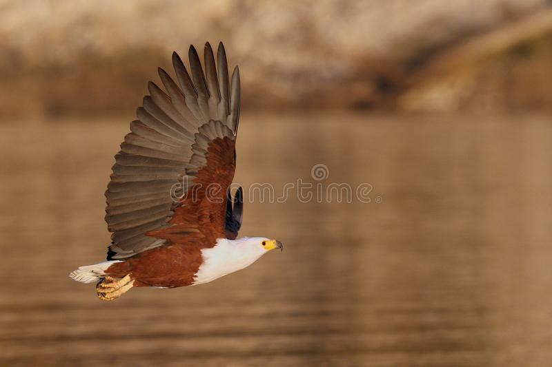 Flying African Fish Eagle over water. Flying African Fish Eagle photographed in Southern Africa over water stock image