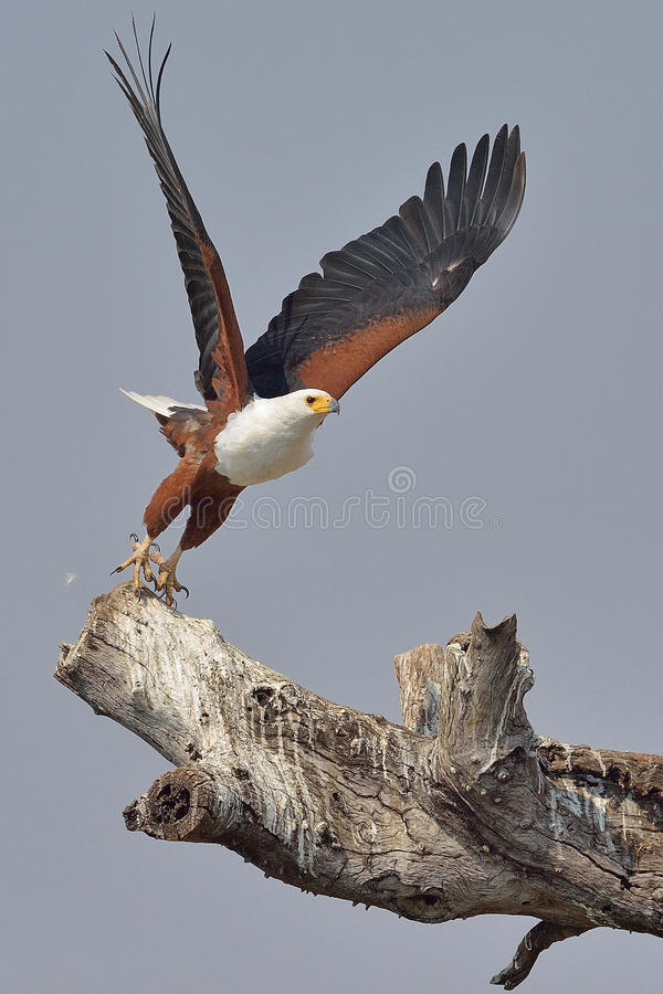 Flying African Fish Eagle taking off from dead tree. Photographed in Southern Africa next to a river stock photos