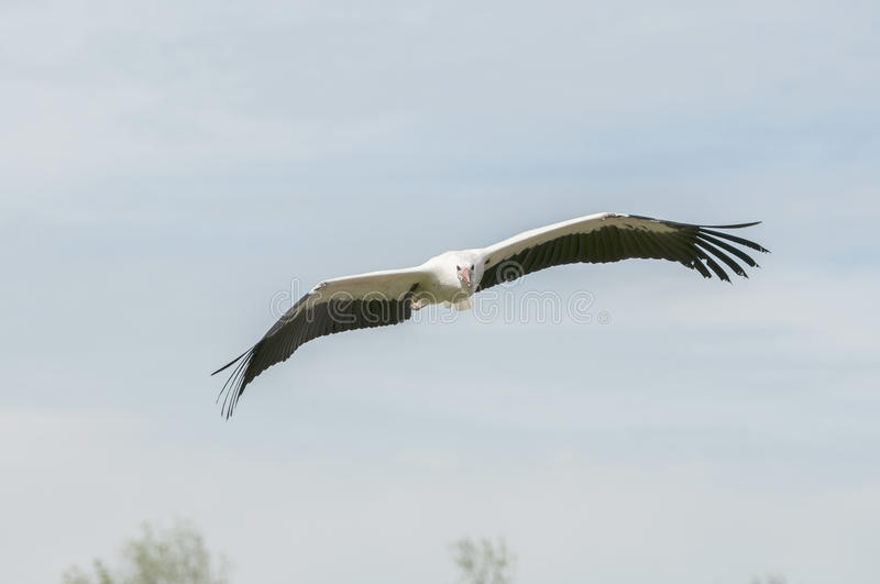 Flying african storck royalty free stock photography